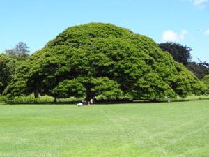 ハワイにあるこの木なんの木気になる木の写真